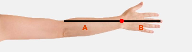 human arm demonstrating golden ratio
