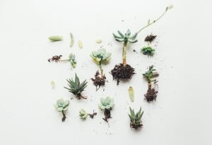 succulents with roots attached laying on a white table.