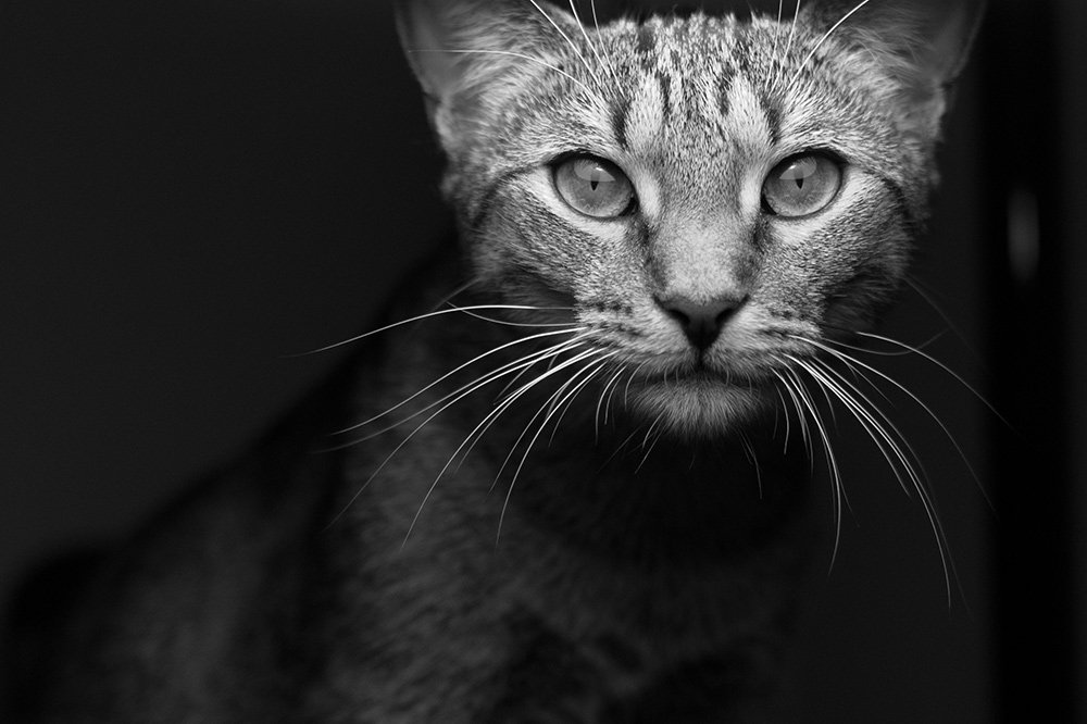 A black and white image of a cat staring at the camera