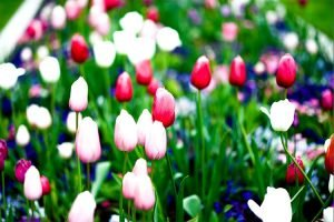 image of tulips with no red clipping color on the flowers